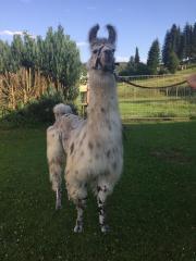 Lama Halb-Wooly