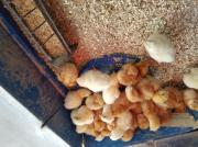 Lege Hühner Küken