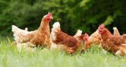 Legehennen / Hennen / Hühner /
