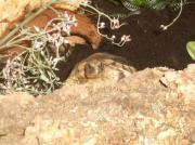 männliche Griechische Landschildkröten