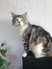 Maine Coon DECKKATER,