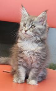 Maine Coon Silberbabys