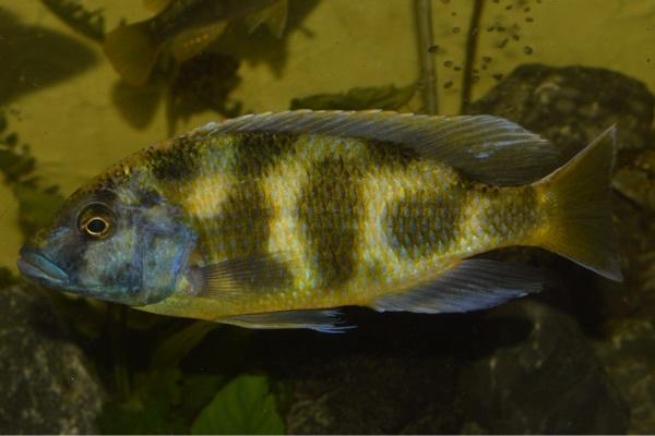 Nimbochromis venustus kleinanzeigen kaufen verkaufen bei for Malawi buntbarsch