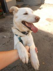 Menschenfreundlicher Labrador-Retriever