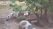 Minischweine/Ferkel vom