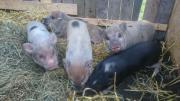 Minischweine - Minnisota Minipig