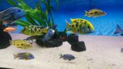Nimbochromis Venustus Paar
