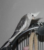 Nymphensittich entflogen, Weißkopf