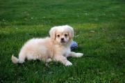 Penikese Hund