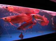 Qualität Arowana Fisch