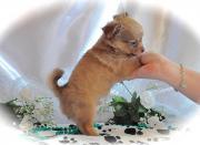 Reinrassig, Langhaar Chihuahuawelpe-