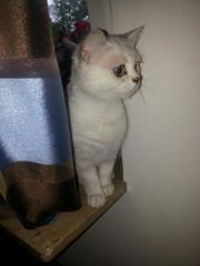 Reinrassige Katze in