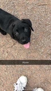 Reinrassige Labradorwelpen suchen