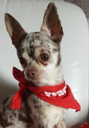 Reinrassiger Chihuahua Mini
