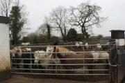 Rettungspferde in Irland