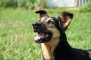 SARIK, Schäferhund Mischling -