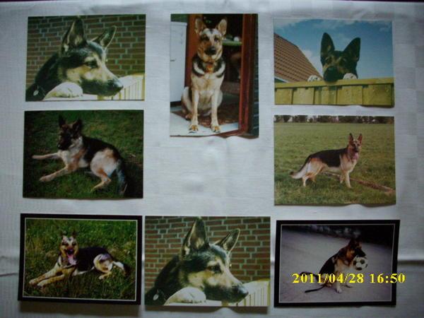 Schäferhund-Ansichtskarten