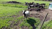 Schafe erwachsen und