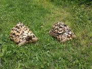 Schildkröten/Landschildkröten mit