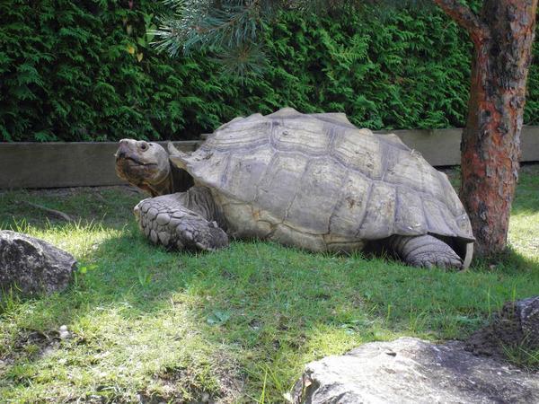 Schildkröten, Schildkröte, Riesenschildkröten, » Reptilien, Terraristik