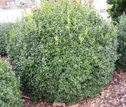 Schöne Buchsbaum Kugel