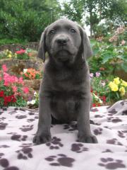 Schöne charcoal Labradorhündin