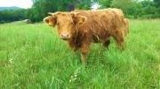 Schottischer Hochlandbulle und