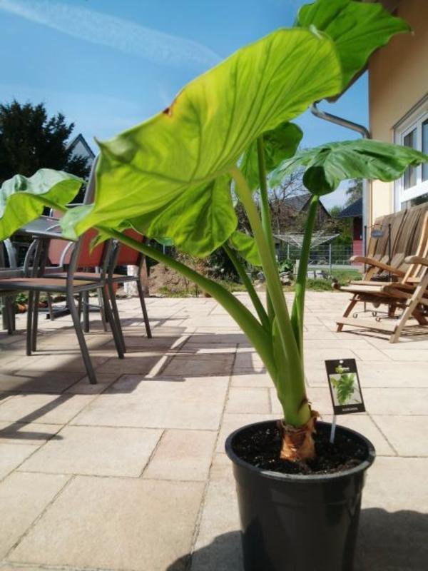 Sehr dekorative großblättrige » Pflanzen