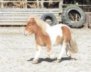 Shettys, Ponys, Fahr-