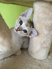 Singapura kitten (männlich)