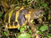 STUTTGART: Europäische Landschildkröten
