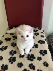 Süße Kitten Britisch