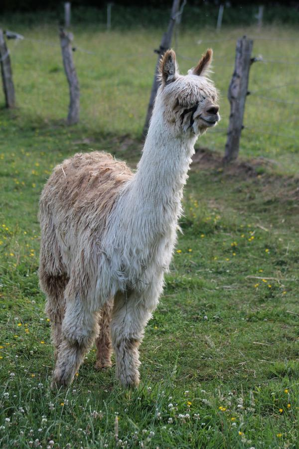 Suri-Alpakajunghengst » Nutztiere