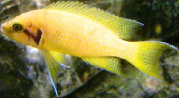 Tanganjika Neolamprologus helianthus Jungtiere und