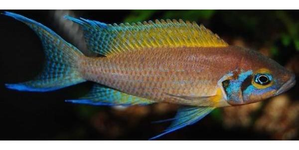 Tanganjika versch arten der feenbuntbarsche for Aquarium fische arten