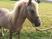 Traumhaft schöner Ponyhengst