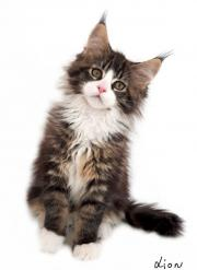 Traumhafter Maine Coon