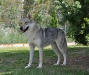 Tschechoslowakischer Wolfshund -WOLFHUND**