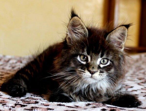 typvolle maine coon kitten ab mitte april abzugeben in chemnitz katzen kaufen und verkaufen. Black Bedroom Furniture Sets. Home Design Ideas