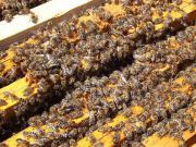 Verkaufe Carnica Bienenvölker,