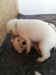 Weiße Schäferhund Welpen