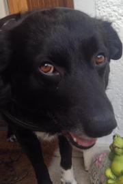 Wunderschöner Labrador