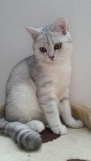Wunderschönes BKH Kitten/