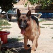 YAGO, Deutscher Schäferhund -