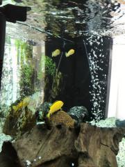 Yellows fische paar..