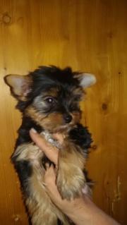 Yorkshire Terrier Babyboy
