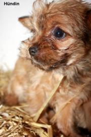 Yorkshire Terrier Mischling