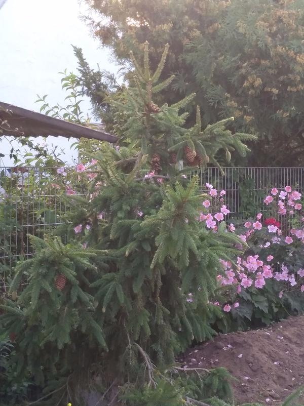Zapfenfichte Picea abies Acrocona ca