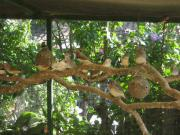 Zebrafinken über 30 Zebrafinken große