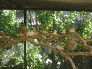 Zebrafinken über 50 Zebrafinken große
